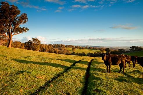 Hill cows
